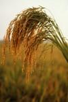 US_long_grain_rice.jpg